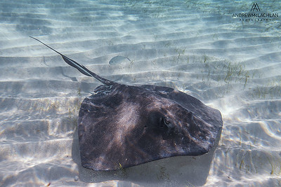Southern Stingray (Dasyatis americana), Cayman Brac, British West Indies