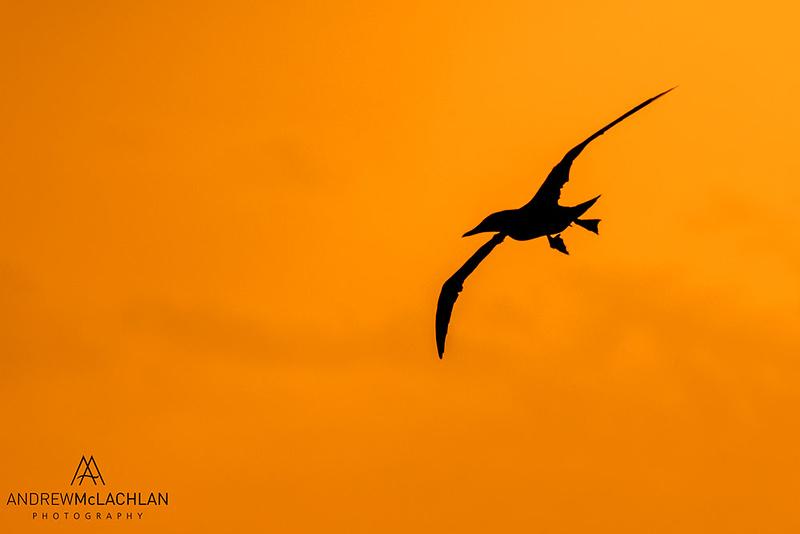 Brown Booby (Sula leucogaster) in flight, Cayman Brac, British West Indies