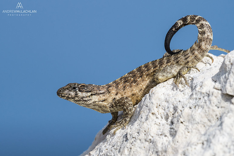 Sister island Curly Tail Lizard