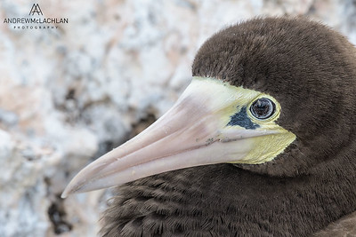 Brown Booby (Sula leucogaster), Cayman Brac, BWI