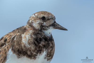 Ruddy Turnstone (Arenaria interpres), Grand Cayman, BWI