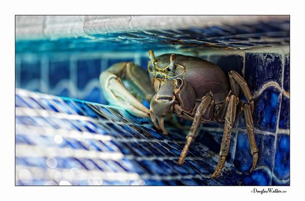 Crab in the pool gutter - Morritt's Grand Cayman