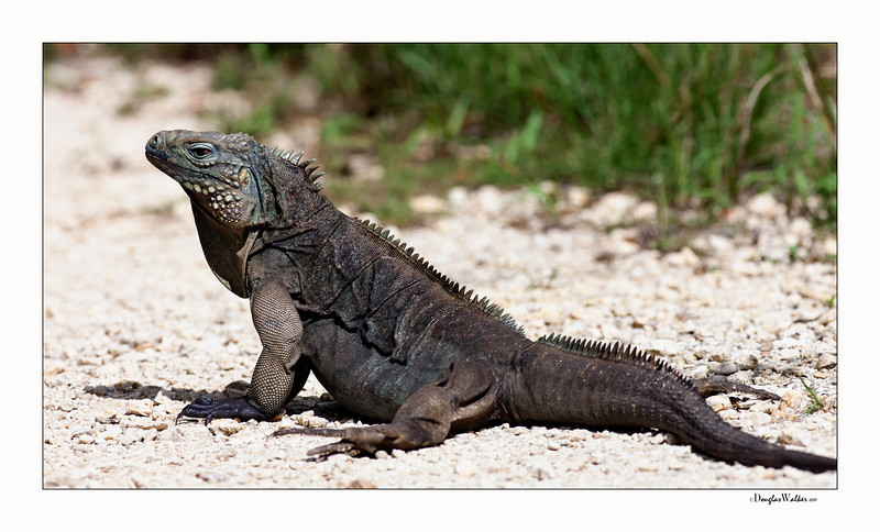 Blue Iguana - Grand Cayman