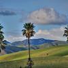 cayucos palm trees 3657