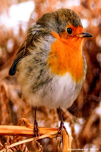 robin2res1