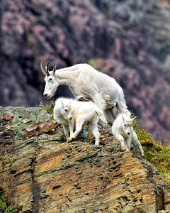 Twins? Mountain Goats