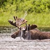 Shaking It Off-Bull Moose