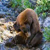 Cooling It Off-Cinnamon Black Bear
