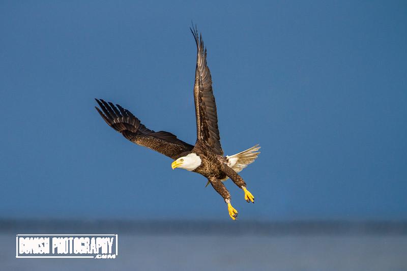 Freedom in a Photo - Bald Eagle - Cedar Key Florida - Photo by Pat Bonish
