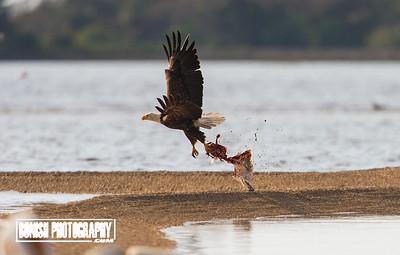 Eagle with a fresh Kill - Cedar Key Florida - Photo by Pat Bonish