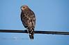 Red Shouldered Hawk sitting on a powerline in Cedar Key Florida - Photo by Pat Bonish