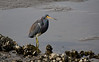 Blue Heron Fishing During Low Tide - Cedar Key Florida - Photo by Pat Bonish
