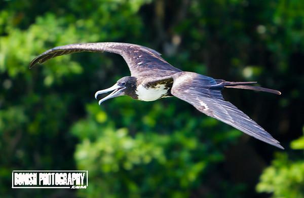 Female Magnificent Frigate Bird - Cedar Key Florida - Photo by Pat Bonish
