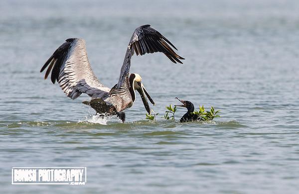 Fighting over nesting material - Cedar Key Florida - Photo by Pat Bonish