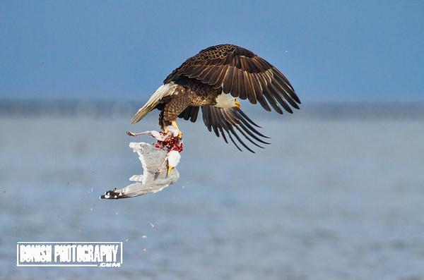 Bald Eagle with a Gull - Cedar Key Florida - Photo by Pat Bonish