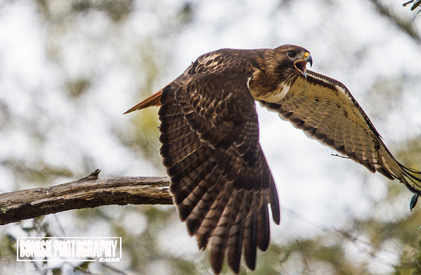 Red Tailed Hawk Taking to Flight - Cedar Key Florida - Photo by Pat Bonish