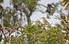 Immature Night Heron sitting in Scrub Oak - Seahorse Key Florida - Photo by Cindy Bonish