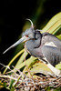 Crazy Hair-Do - Tri-Colored Heron in the Nest - Photo by Pat Bonish