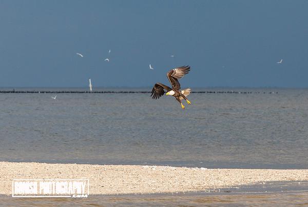 Bald Eagle With a Gull - Cedar Key Florida - Photo by Cindy Bonish