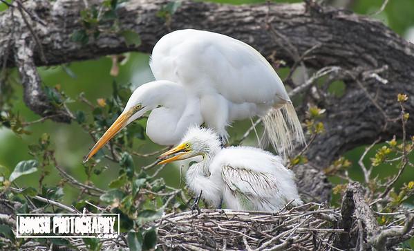 Great American Egret at the Nest - Cedar Key Florida - Photo by Pat Bonish