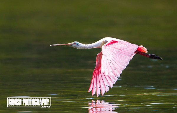 Mere inches off the Gulf - Roseatte Spoonbill - Cedar Key Florida - Photo by Pat Bonish