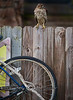 Coopers Hawk sitting on the fence behind the Low-Key Hideaway - Photo by Pat Bonish