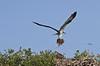 Returning to the Nest with Fresh Bedding - Osprey above Seahorse Key Florida - Photo by Pat Bonish