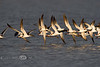 Skimming for Dinner - Flock of Black Skimmers making their rounds in the rich waters of Cedar Key - Photo by Pat Bonish