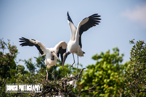 Woodstorks in the Nest - Cedar Key Florida - Photo by Pat Bonish
