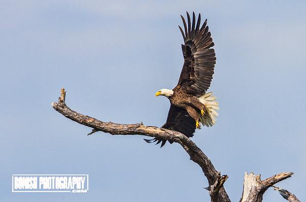 Huge Wing Span of a Bald Eagle - Cedar Key Florida - Photo by Pat Bonish