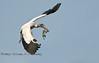 Woodstork returning to the nest with a branch - Photo by Pat Bonish
