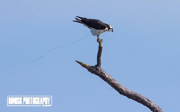 Osprey Pooping - Cedar Key Florida - Photo by Pat Bonish