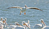 Look, I can Jump - White Pelicans in Cedar Key Florida - Photo by Pat Bonish