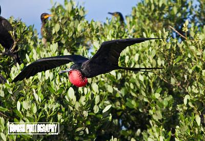 Male Magnificent Frigate Bird in Flight - Snake Key, Florida - Photo by Pat Bonish