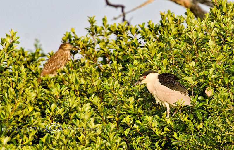 Black Crowned Night Heron with a Immature Night Heron Behind it - Seahorse Key - Photo by Pat Bonish