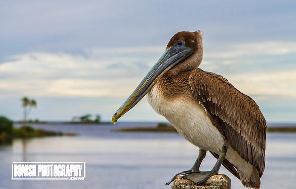 Immature Brown Pelican on his Post - Cedar Key