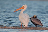 Size Difference - White Pelican beside a Brown Pelican - Cedar Key Florida - Photo by Pat Bonish