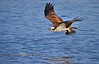 Bringing Nest Material to the Boat - Osprey in Cedar Key Florida - Photo by Pat Bonish