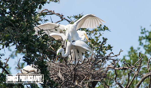 Love is in the Air - Great American Egrets mating in the nest - Cedar Key Florida - Photo by Pat Bonish