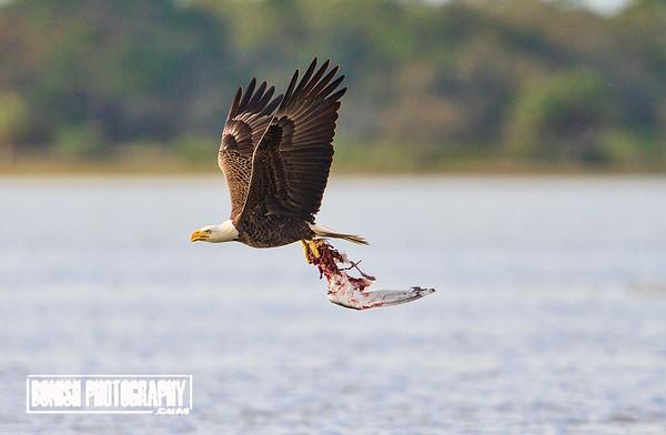 Bald Eagle flying with a fresh kill - Cedar Key Florida - Photo by Pat Bonish