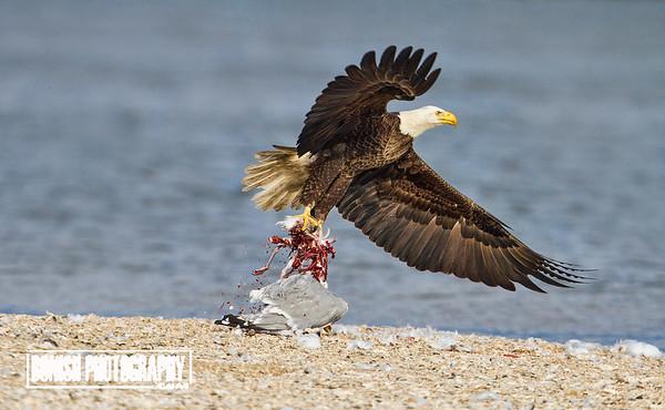 Eagle with Fresh Kill - Cedar Key Florida - Photo by Pat Bonish