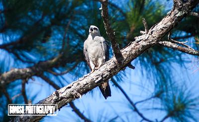 Mississippi Kite - Cedar Key Florida - Photo by Pat Bonish
