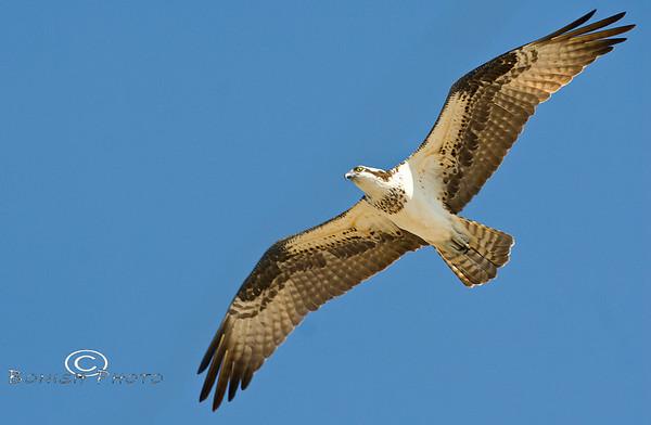 Birds of Cedar Key