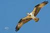 Wing Span - Osprey (Pandion haliaetus) in Cedar Key Florida - Photo by Pat Bonish