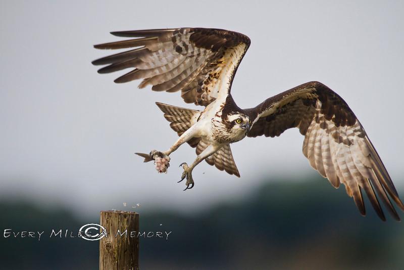 Leaving the Perch - Osprey in Cedar Key Florida - Photo by Pat Bonish