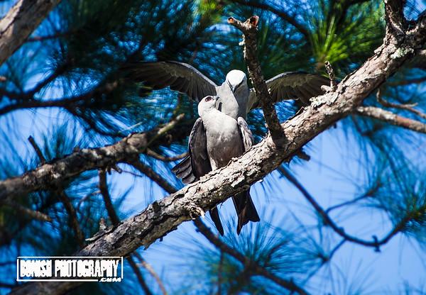 Pair of Mississippi Kites mating in Cedar Key Florida - Photo by Pat Bonish