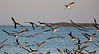 Flock of Black Skimmers in Cedar Key Florida - Photo by Pat Bonish