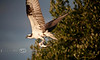Fresh Catch - Osprey with Breakfast on Seahorse Key - Photo by Pat Bonish