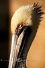 Pelican Profile - Cedar Key Florida - Photo by Pat Bonish