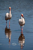 Is Someone Following Me - White Ibis Behind Low-Key Hideaway - Photo by Pat Bonish